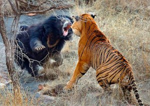 Bear vs. Tiger